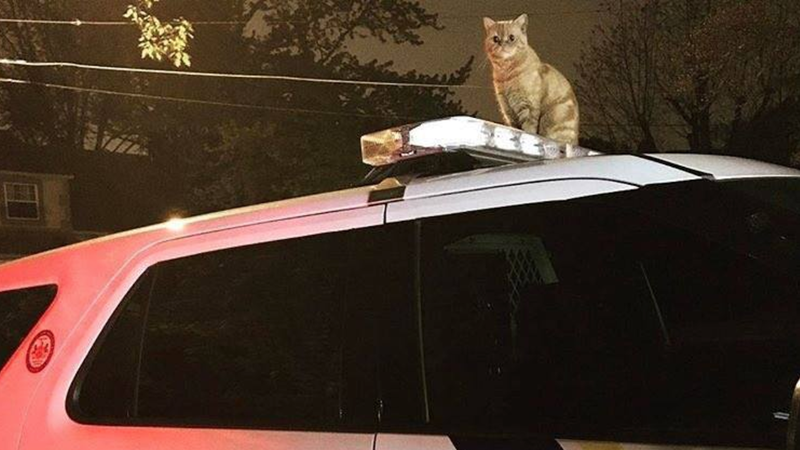 Cat Asserts Dominance Over Dogs