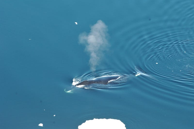 A bowhead whale surfaces in Fram Strait, to the northwest of Norway