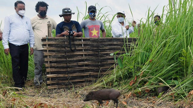 World's Smallest Hogs Released Into Wild
