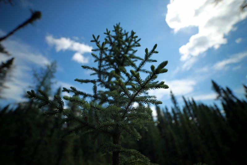 Black spruce. Image: Loïc D'Orangeville