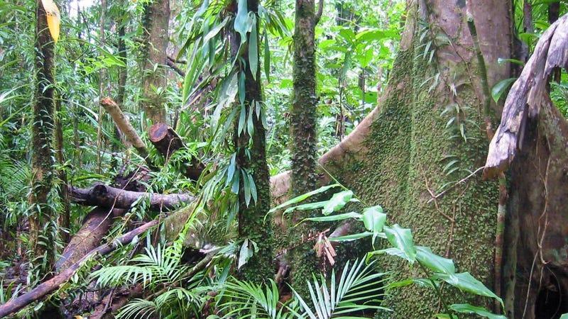 A patch of rainforest near Daintree, Queensland.