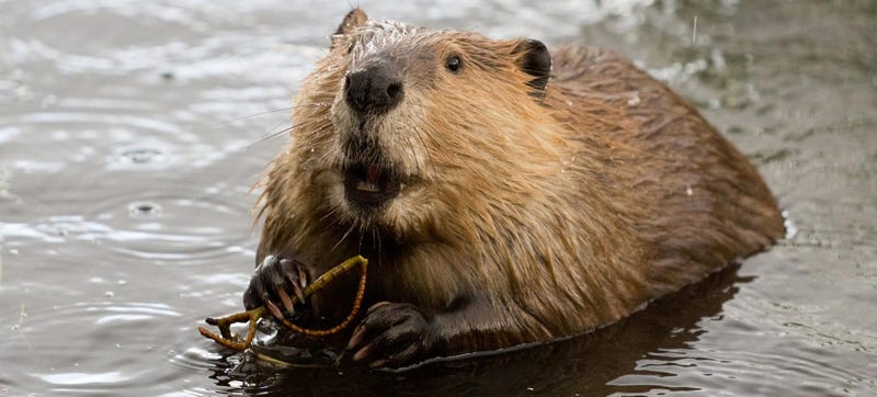 Illustration for article titled Toyota Gives Up Its Fight Against Beavers, Issues Hilarious Statement
