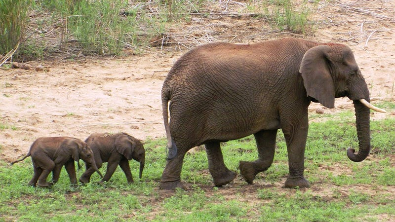Illustration for article titled Rare Baby Elephant Twins Will Mess Up Your Entire Day