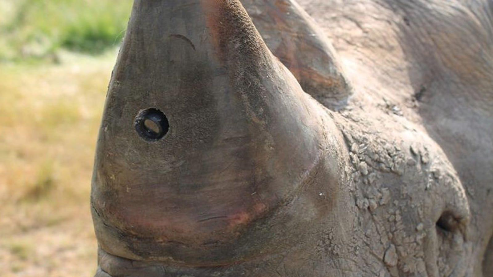 Proponen instalar cámaras de vigilancia en el cuerno de los rinocerontes