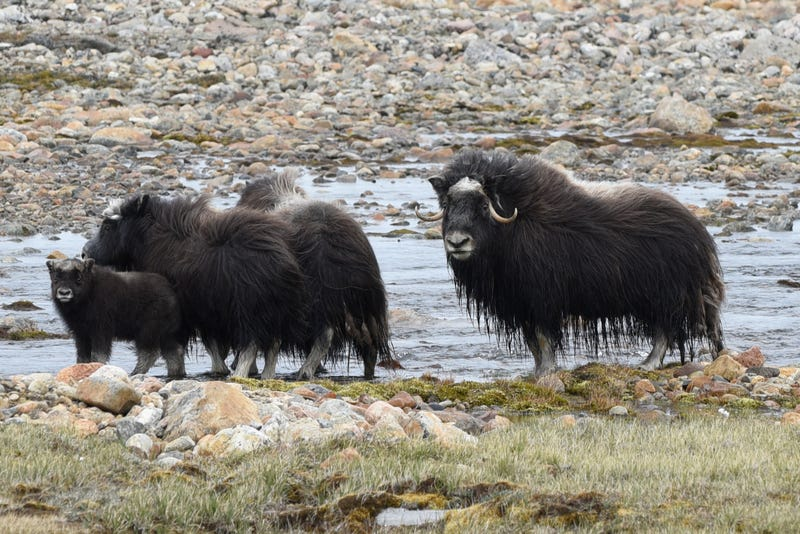 A family of local Greenlanders—in this case musk ox—intruding on Thule Air Force Base.