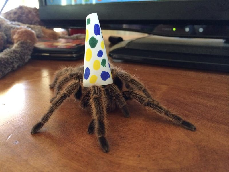 Illustration for article titled Here is a tarantula in a party hat