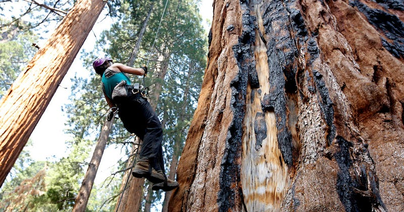 Illustration for article titled California's Drought Is Now Threatening Its Millennia-Old Sequoias