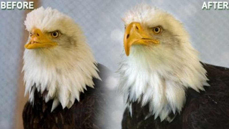 Illustration for article titled The most badass thing you'll see today: a bald eagle with 3D-printed beak