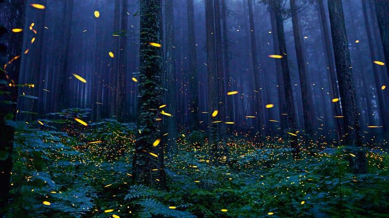 Los humanos estamos destruyendo el hábitat de las luciérnagas, que están desapareciendo. Imagen: Tim Flach