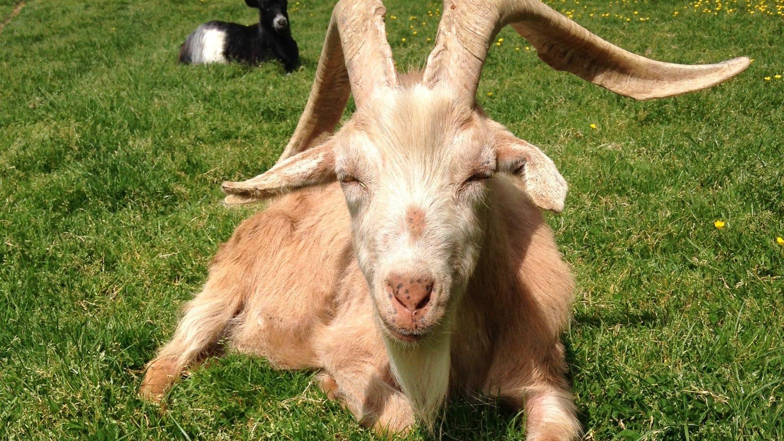 A las cabras no les gusta tu cara gruñona