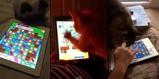 Cats Playing Candy Crush Saga, Ladies And Gentlemen