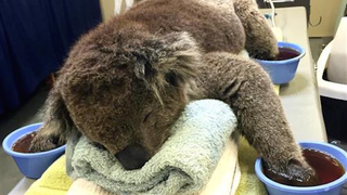 Illustration for article titled A Koala Soaks His Paws After Being Rescued From A Bush Fire