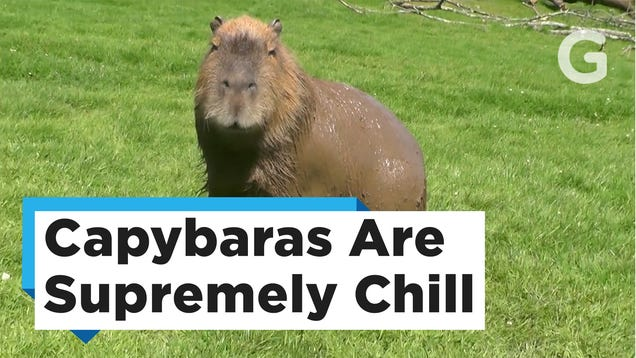 photo image We Don't Deserve Capybaras