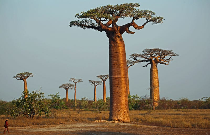 Illustration for article titled Something Is Killing the World's Oldest Baobabs