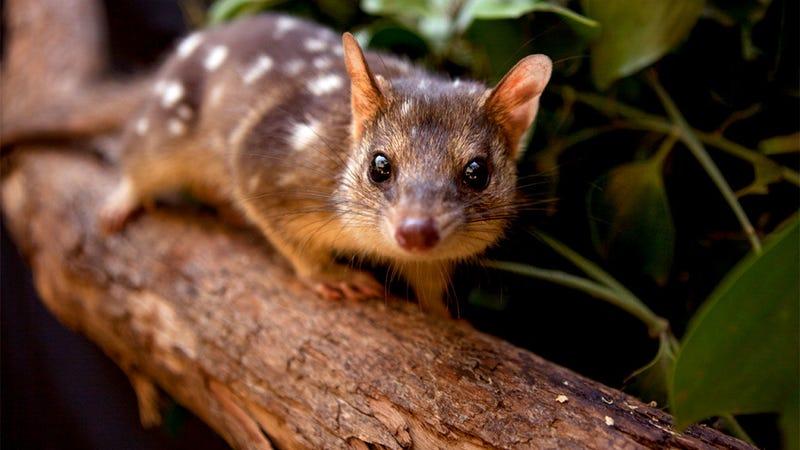 Illustration for article titled Después de 13 generaciones sin selección natural, este animal olvidó tener miedo a sus depredadores