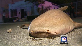 Six-Foot Nurse Shark Found On Miami Street