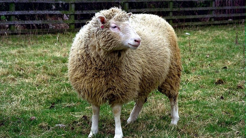 Dolly the cloned sheep. (Image: The Roslin Institute/The University of Edinburgh., CC BY-NC)