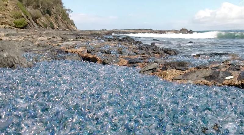 Illustration for article titled Lo que cubre esta playa no es plástico, sino miles de organismos tan tóxicos que se conocen como terrores flotantes