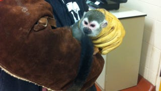 Illustration for article titled Tiny Little Monkey Returned Safely To Zoo After He Was Stolen
