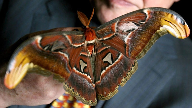 Largest moth in the world - photo#9