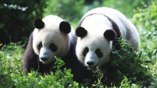 Illustration for article titled Once again, pandas prove they have the world's most byzantine mating habits