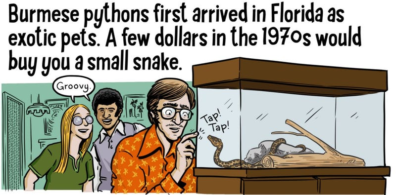 Illustration for article titled Webcomic Explains How Pythons Invaded Florida—And Why They're A Problem