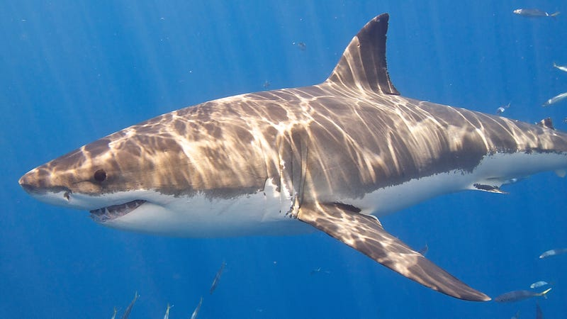 The great white shark is a lamniform shark, a group that dominated oceans in the Cretaceous Period.