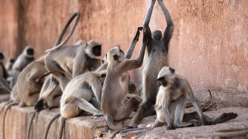 Illustration for article titled 30,000 Monkeys Are Wreaking Havoc on India's Capital