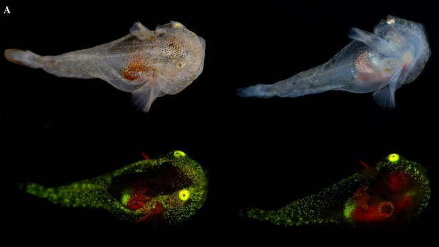 Scientists Document First-Ever Biofluorescent Fish in the Arctic
