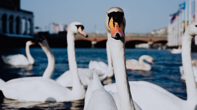Illustration for article titled English swans invade small town in search of junk food