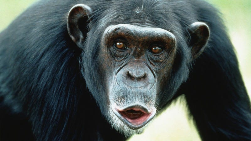 A chimp.