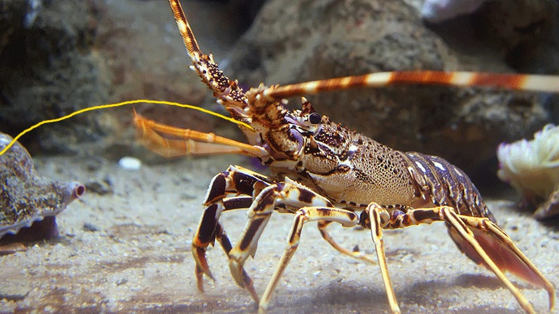 Lobsters Have the Craziest Sex You've Never Heard Of, and Yes, It Involves Urine