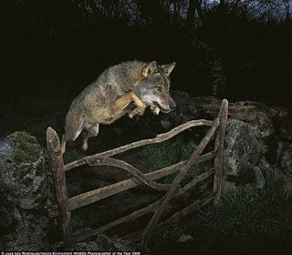 """Illustration for article titled Judges Decide """"Wolf Jumping Over Fence"""" Photo Is Fake...Sort of"""