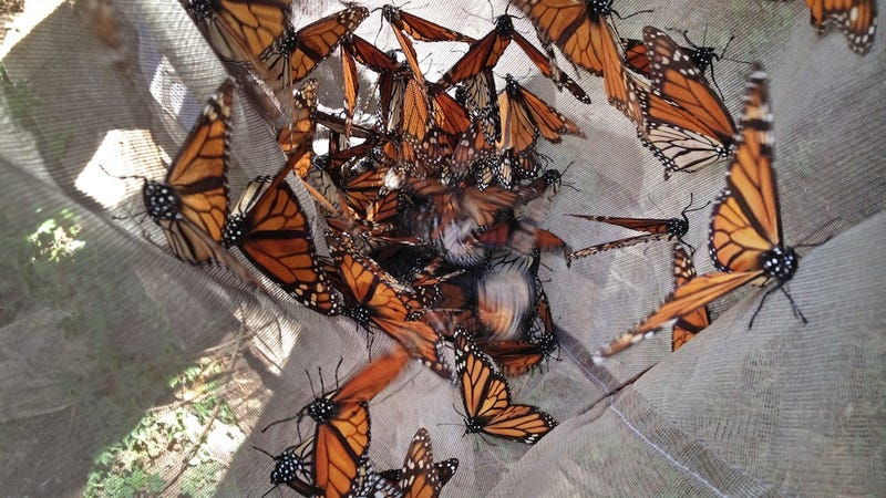 Illustration for article titled Experts Say the Monarch Butterfly Migration Is in Trouble