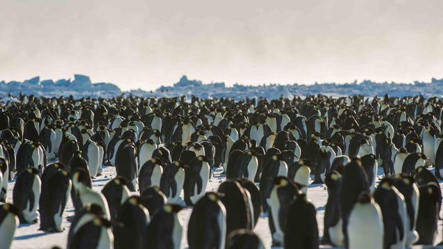 'Catastrophic' Breeding Failures Have Obliterated a Large Emperor Penguin Colony