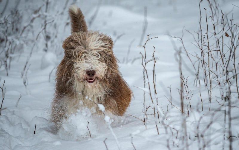 Cómo saber si hace demasiado frío para sacar a tu perro a pasear sin que corra peligro