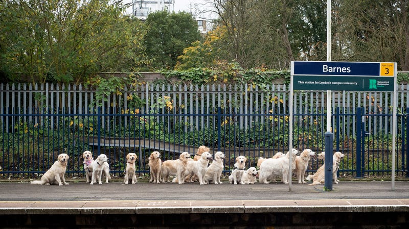 Illustration for article titled Saturday Night Social: Mind the Gap, and the Golden Retrievers