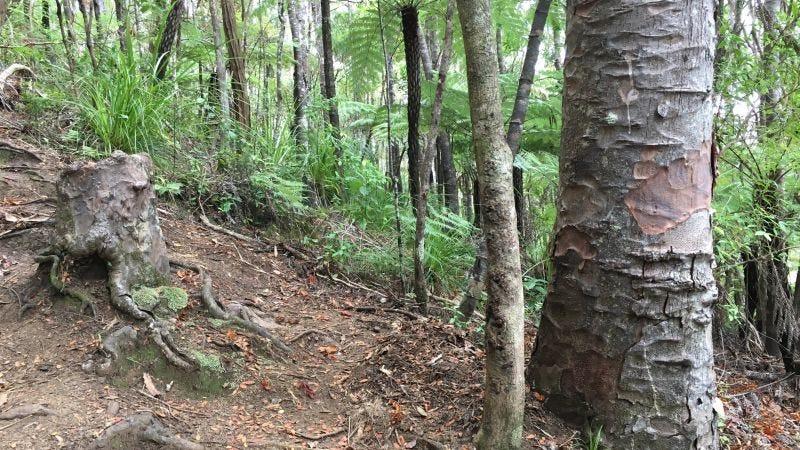 Illustration for article titled Descubren que un tocón de árbol moribundo se está manteniendo con vida gracias a los árboles vecinos