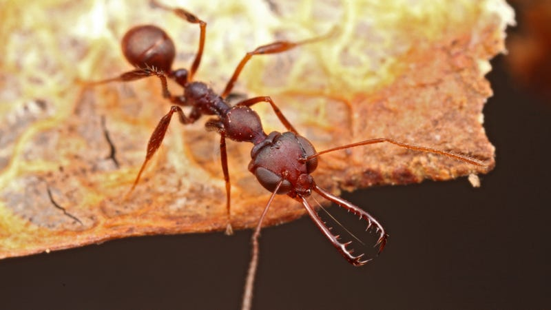 A close-up image of a Myrmoteras trap-jaw ant. Image: Steve Shattuck.