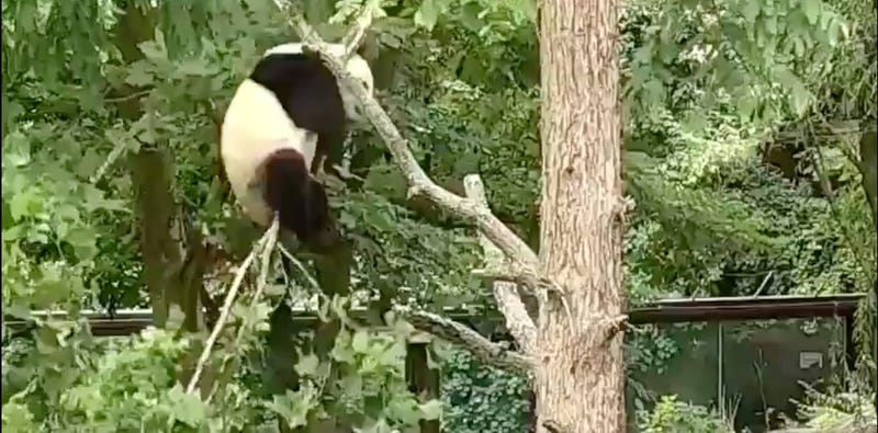 Illustration for article titled Just A Dumbass Panda Repeatedly Falling Out Of Trees