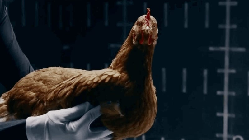 The Perfect Demonstration Of An Incredible Feature Of Chicken Anatomy