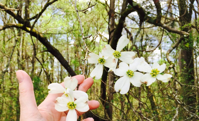 Photo credit: Dorothy: Dogwoods in bloom, Sumter National Forest, South Carolina
