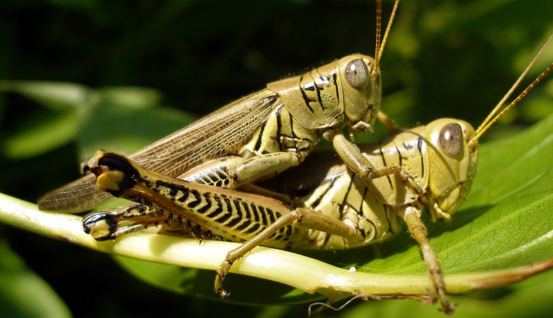 The wrong species of grasshopper, but they fuckin' (Image: Rkitko/Wikimedia Commons)