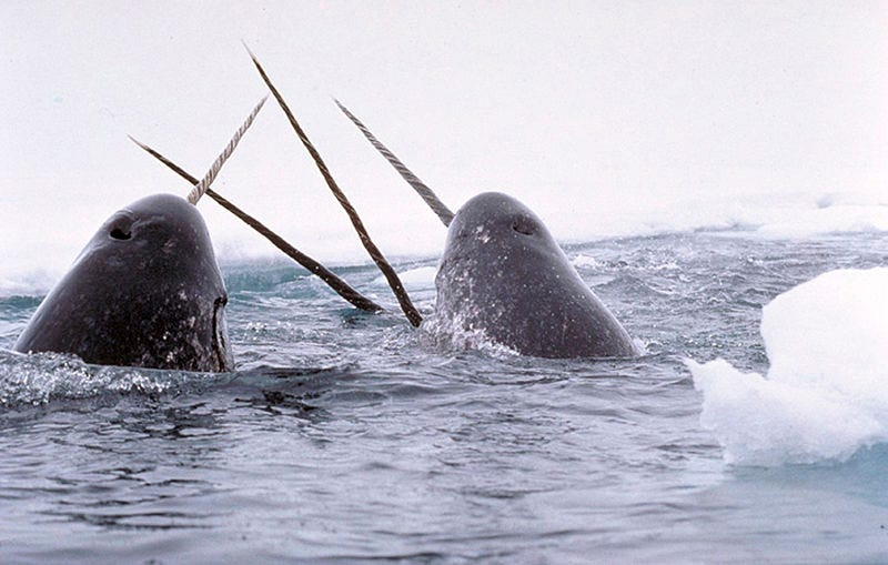 Illustration for article titled Size Matters: Narwhals With Longer Tusks Have Bigger Testicles