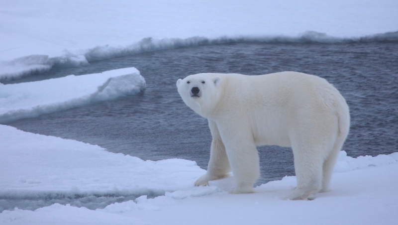 Illustration for article titled Scientists Have Solved a Decades-Old Mystery About Polar Bears