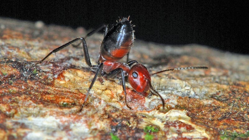 New Species of 'Exploding Ant' Discovered in Borneo