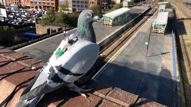 Estas palomas están recogiendo datos sobre el clima con sensores atados a sus espaldas.