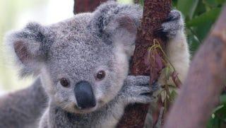 Illustration for article titled Good Wine Tastes More Like Koala Urine Than You'd Think