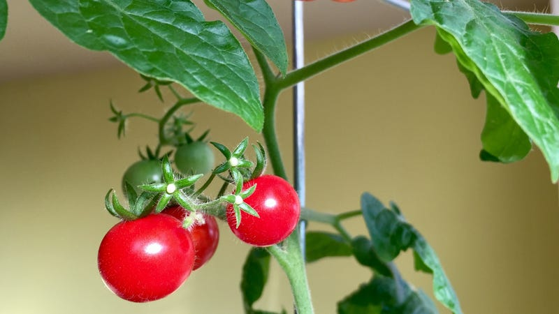 Photo of windowsill tomato plant by Olga Oksman.