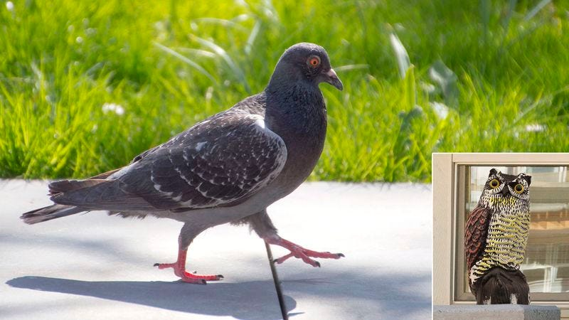 "Though admitting it is inanimate and harmless, the pigeon says there is ""no way"" he would ever get within 10 feet of the painted plastic owl (inset)."